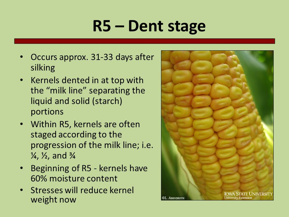 R5 – Dent stage Occurs approx days after silking