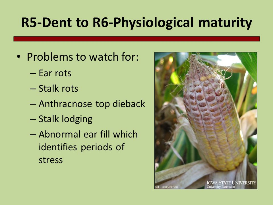 R5-Dent to R6-Physiological maturity