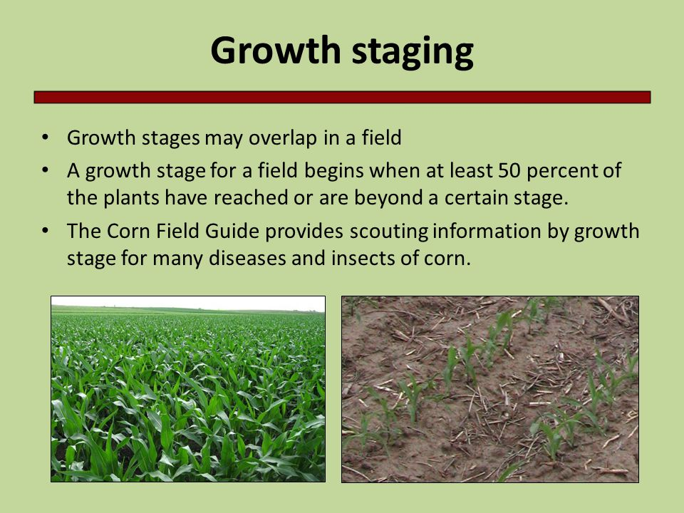 Growth staging Growth stages may overlap in a field