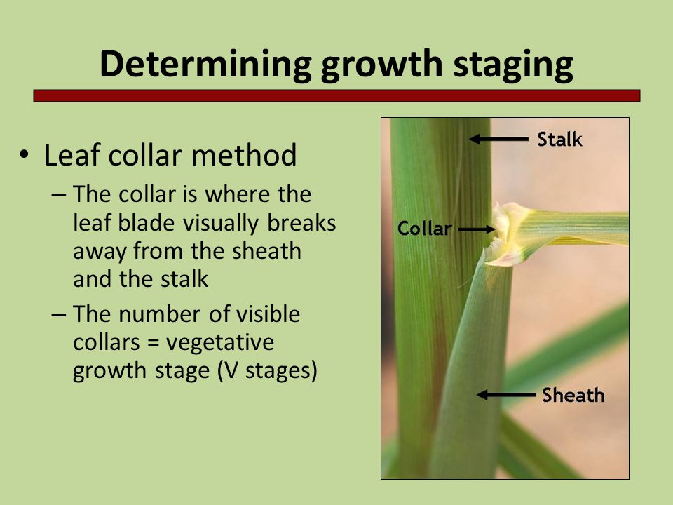 Determining growth staging