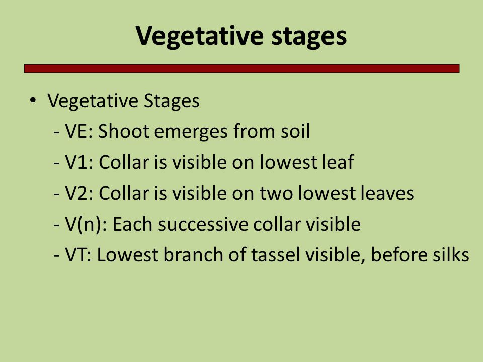 Vegetative stages Vegetative Stages - VE: Shoot emerges from soil