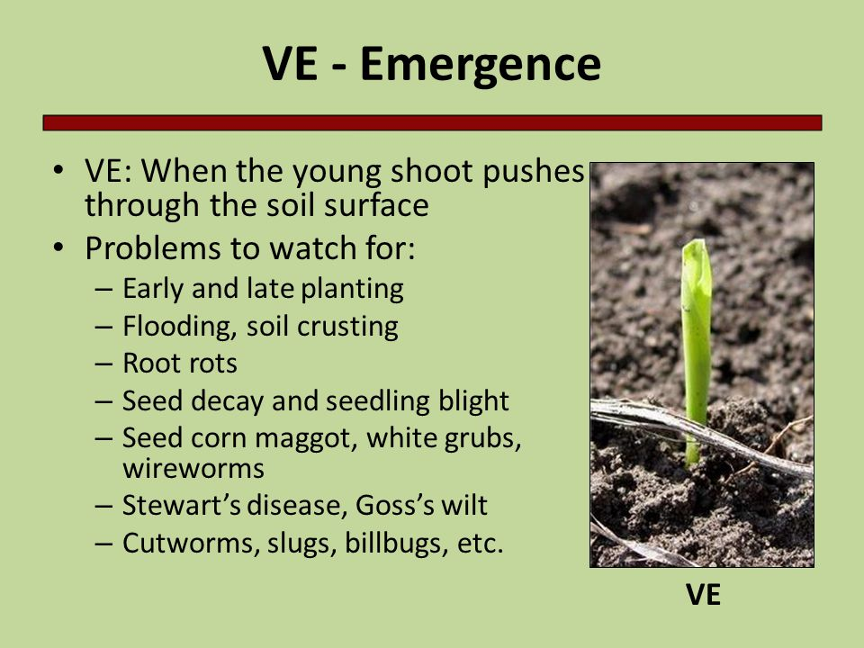 VE - Emergence VE: When the young shoot pushes through the soil surface. Problems to watch for: Early and late planting.