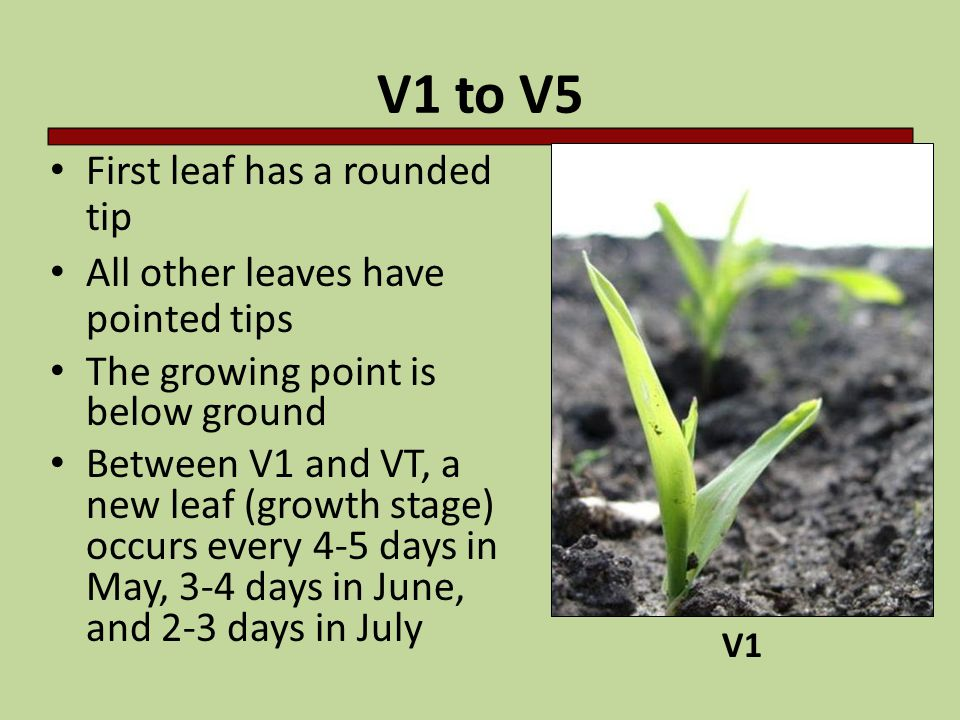 V1 to V5 First leaf has a rounded tip