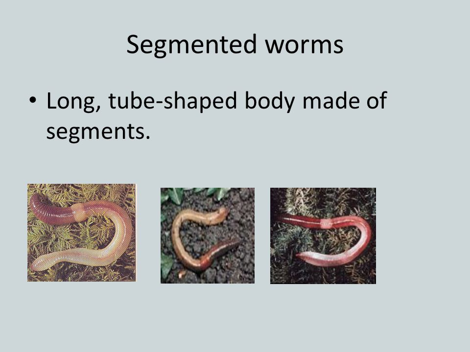 Segmented worms Long, tube-shaped body made of segments.