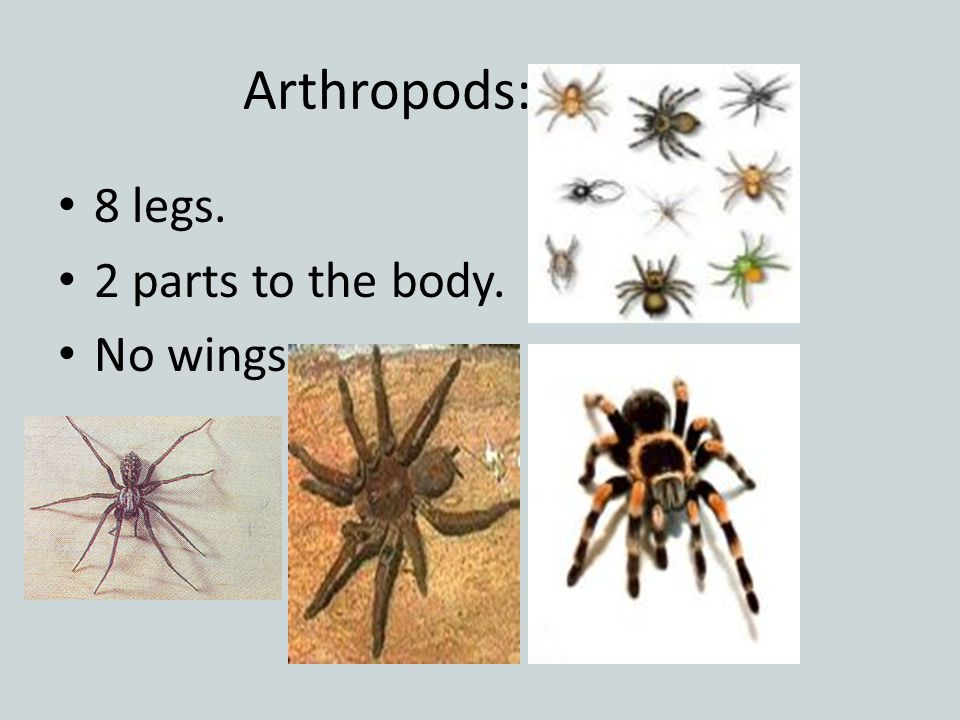 Arthropods: Spiders 8 legs. 2 parts to the body. No wings