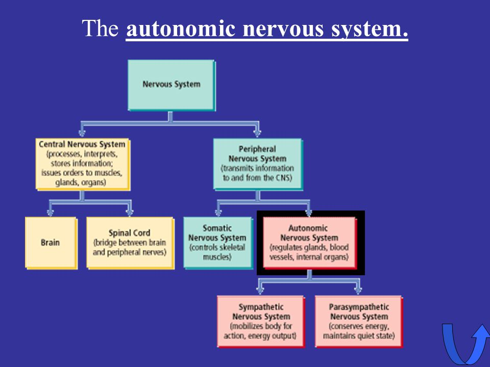 The autonomic nervous system.