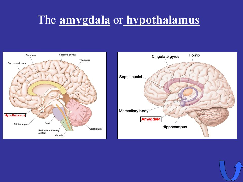 The amygdala or hypothalamus
