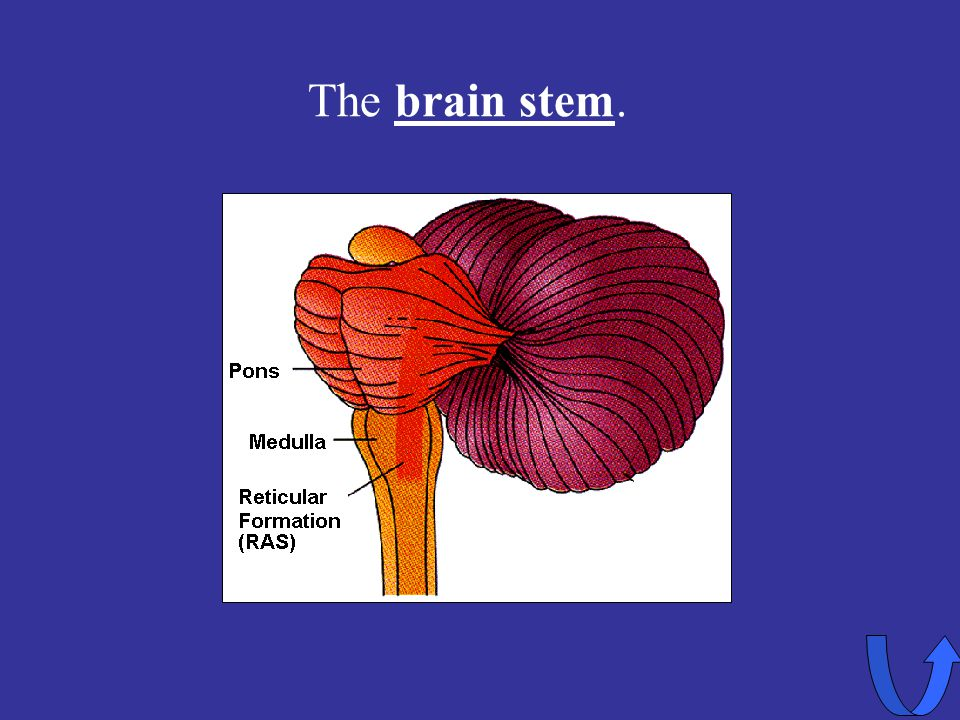 Eleanor M. Savko 4/5/2017 The brain stem.