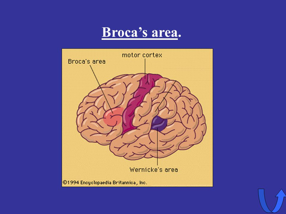 Eleanor M. Savko 4/5/2017 Broca's area.