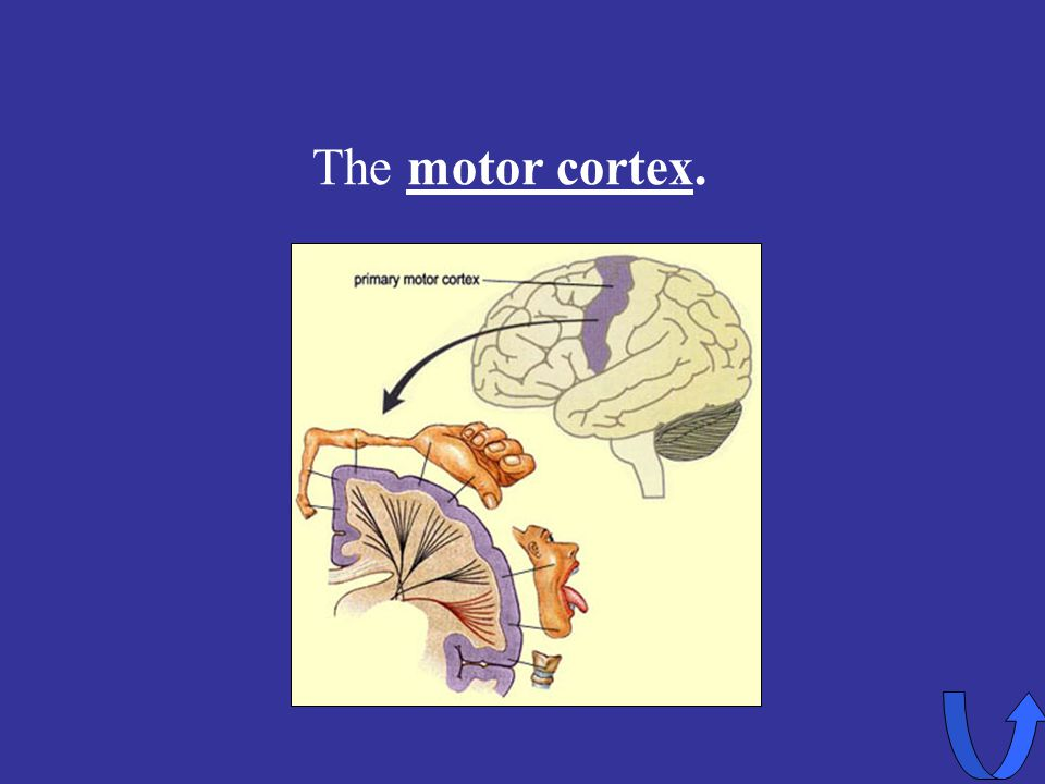 Eleanor M. Savko 4/5/2017 The motor cortex.