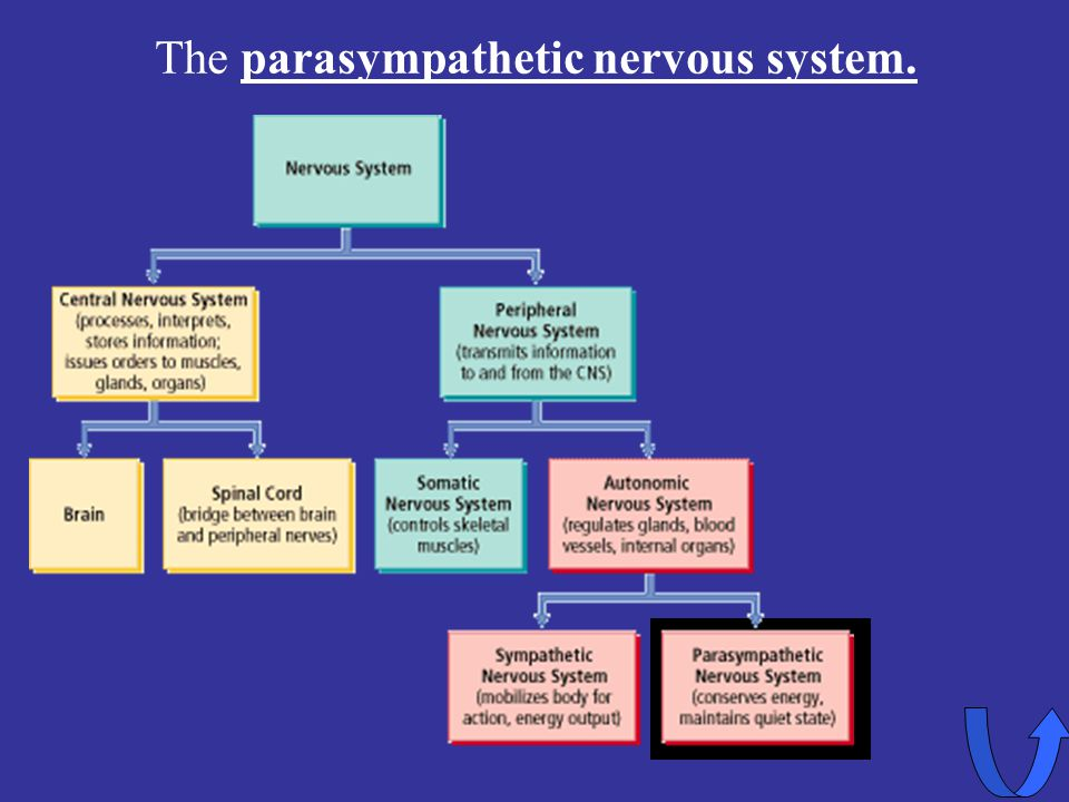 The parasympathetic nervous system.