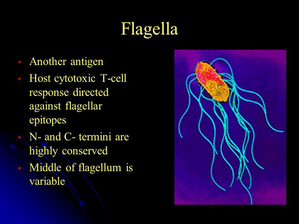 Flagella Another antigen