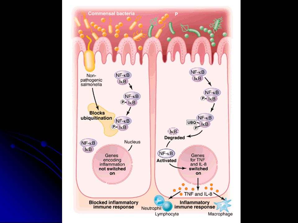 The scenario on the left is what happens with the switch to a Phase II flagellum. The inflammatory response is not triggered