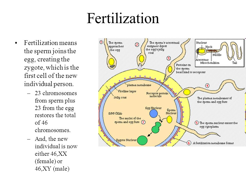 Fertilization Fertilization means the sperm joins the egg, creating the zygote, which is the first cell of the new individual person.