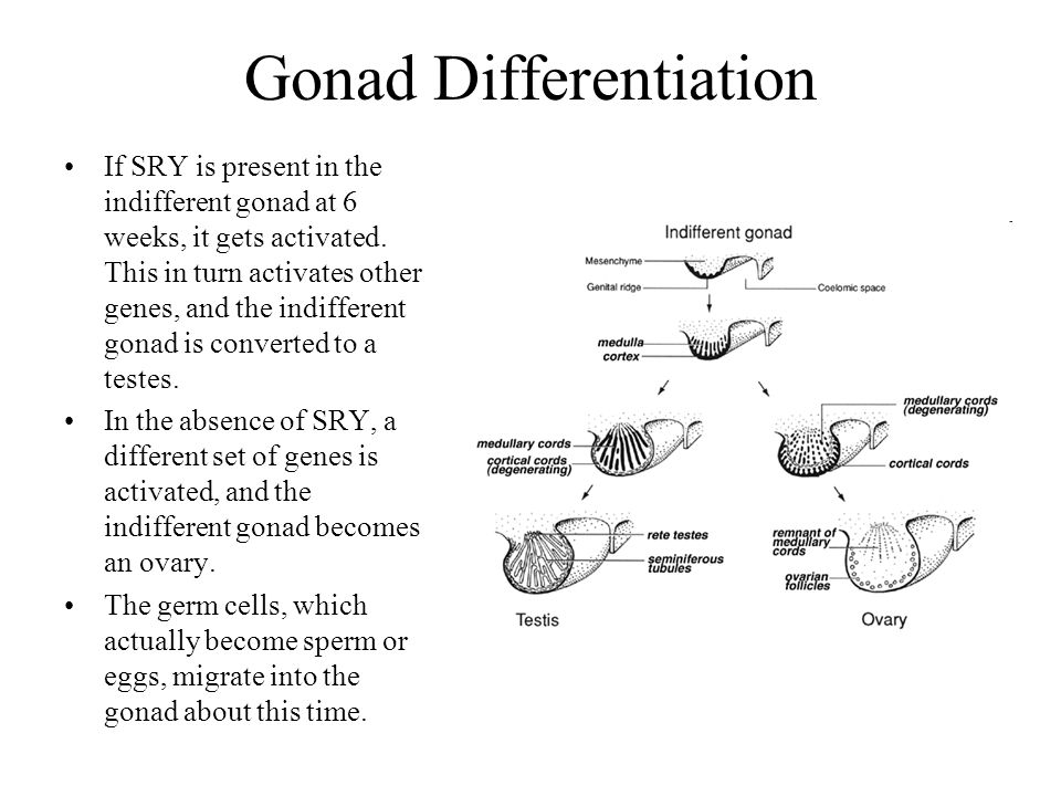 Gonad Differentiation