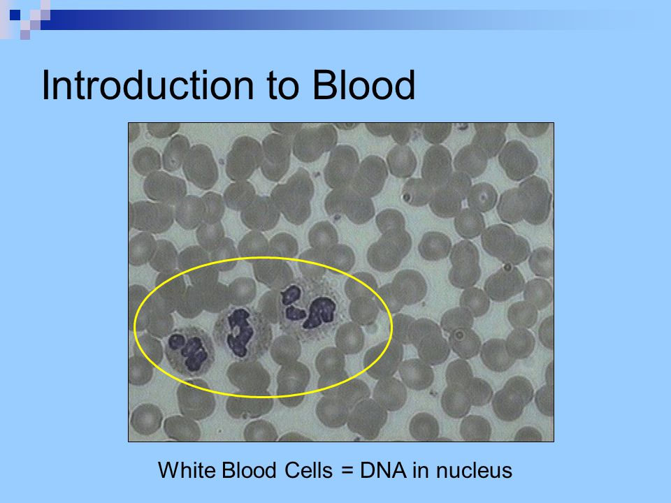 Introduction to Blood White Blood Cells = DNA in nucleus