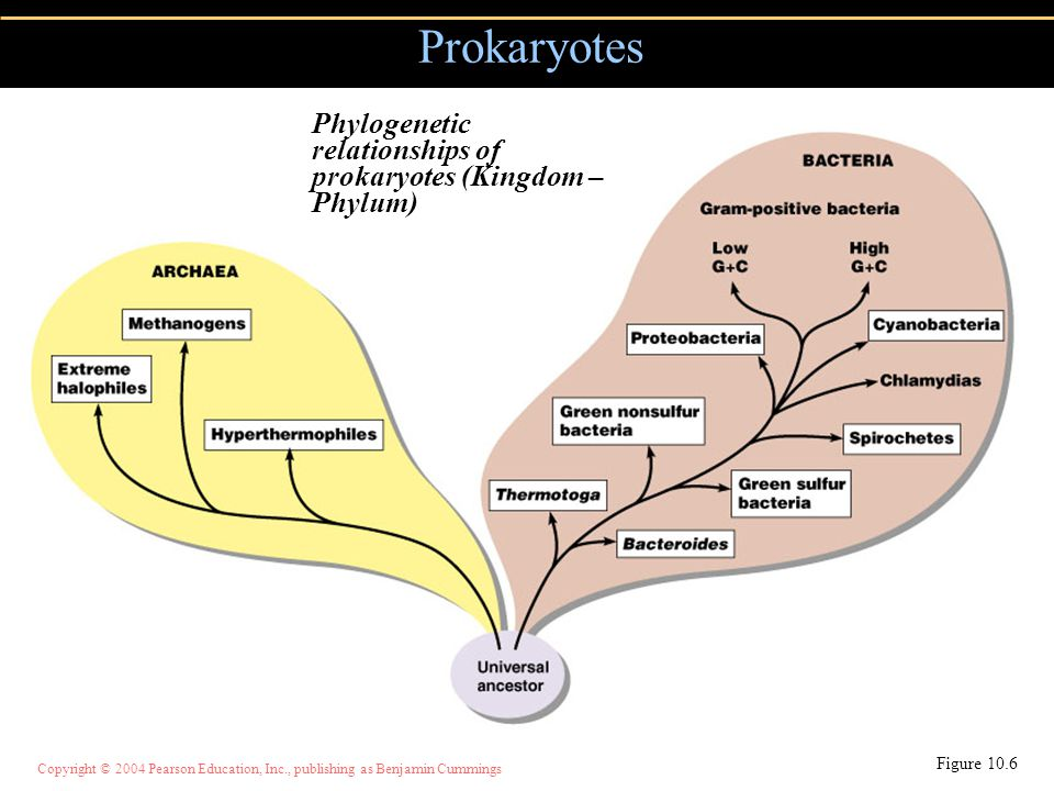 Prokaryotes Phylogenetic relationships of prokaryotes (Kingdom – Phylum) Figure 10.6