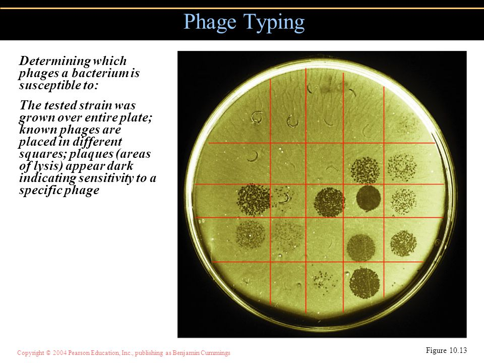 Phage Typing Determining which phages a bacterium is susceptible to: