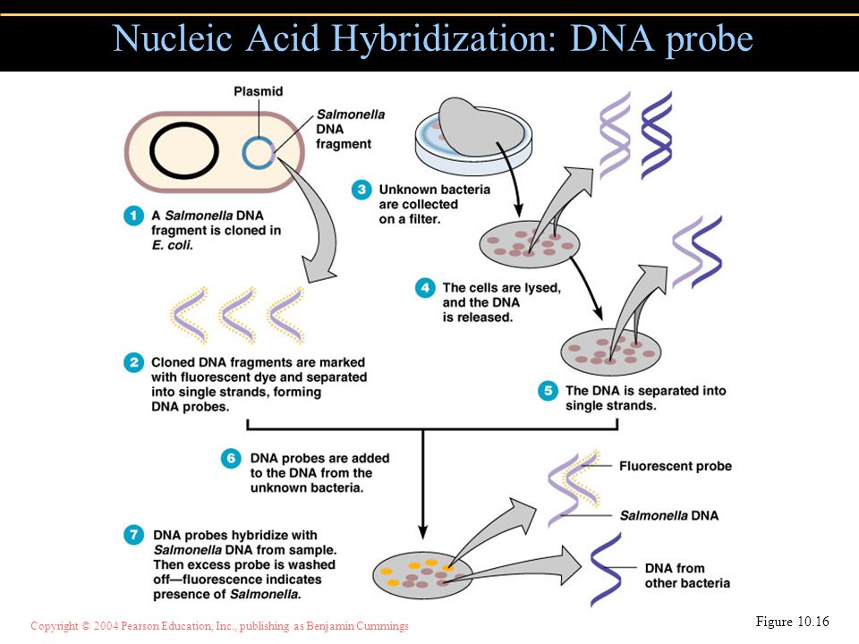 Nucleic Acid Hybridization: DNA probe