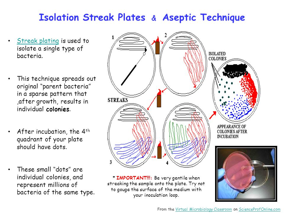 Isolation Streak Plates & Aseptic Technique
