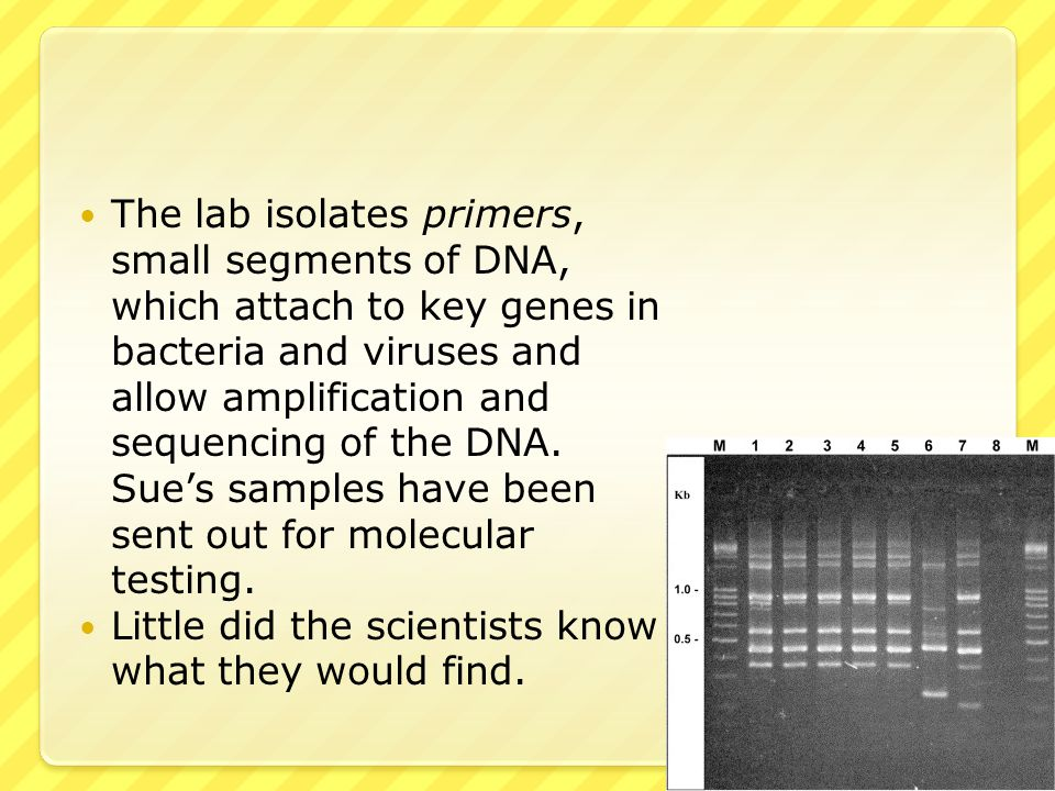The lab isolates primers, small segments of DNA, which attach to key genes in bacteria and viruses and allow amplification and sequencing of the DNA. Sue's samples have been sent out for molecular testing.