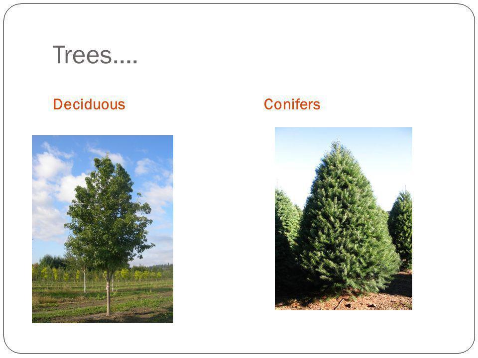 Trees…. Deciduous Conifers