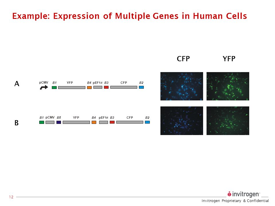 Example: Expression of Multiple Genes in Human Cells