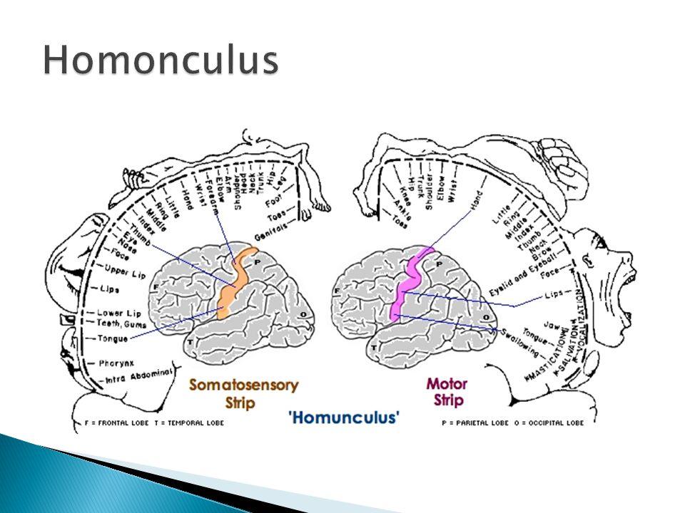 Homonculus