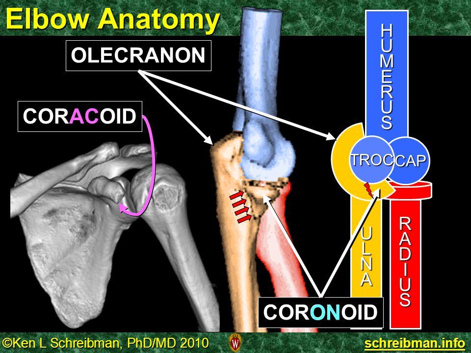 Elbow Anatomy OLECRANON CORACOID CORONOID ON H U M E R S L A N D I