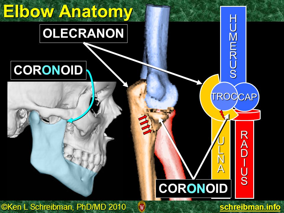 Elbow Anatomy OLECRANON CORONOID CORONOID ON H U M E R S L A N D I
