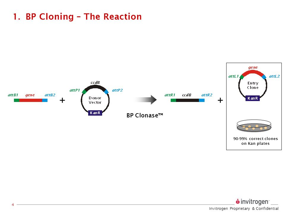 BP Cloning – The Reaction