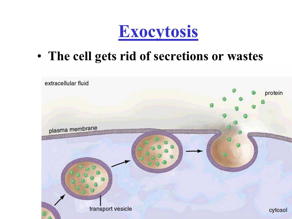 Exocytosis The cell gets rid of secretions or wastes