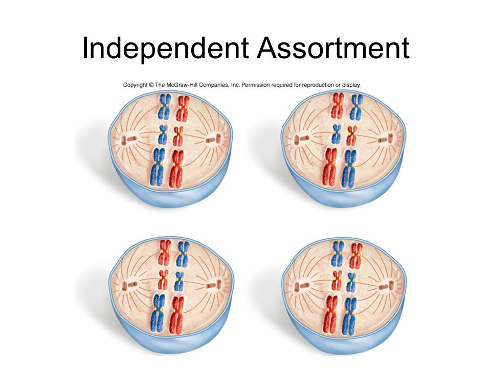 Independent Assortment