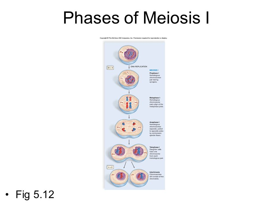 Phases of Meiosis I Fig 5.12