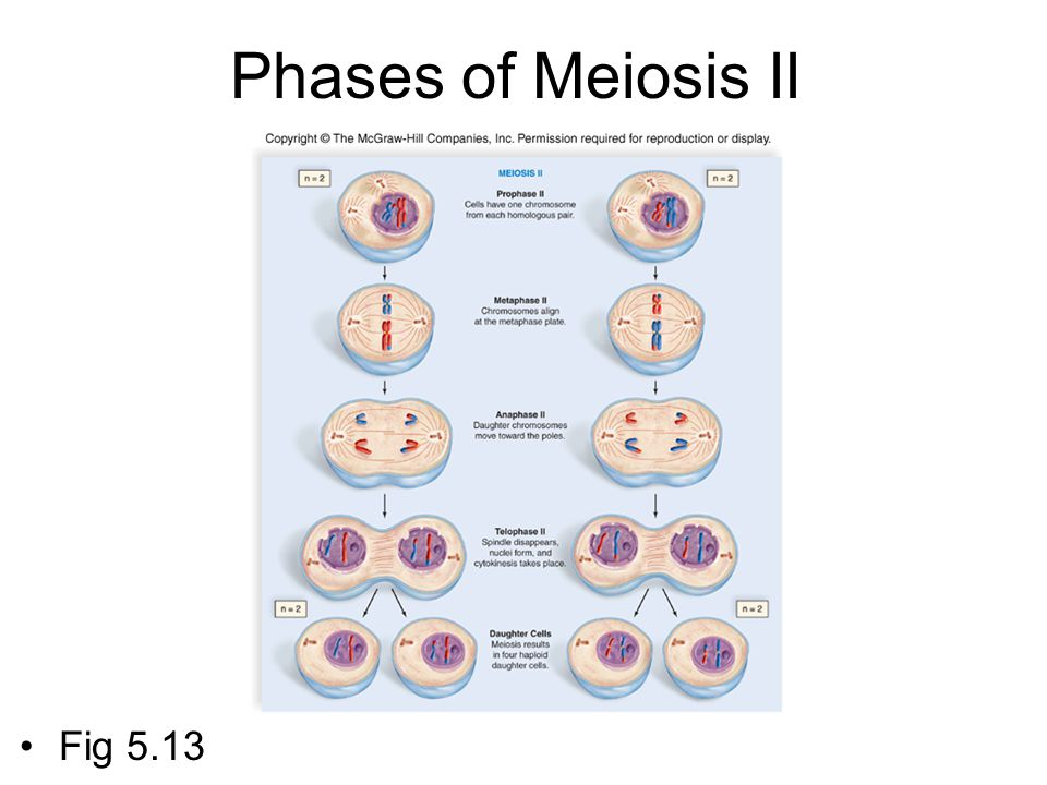 Phases of Meiosis II Fig 5.13