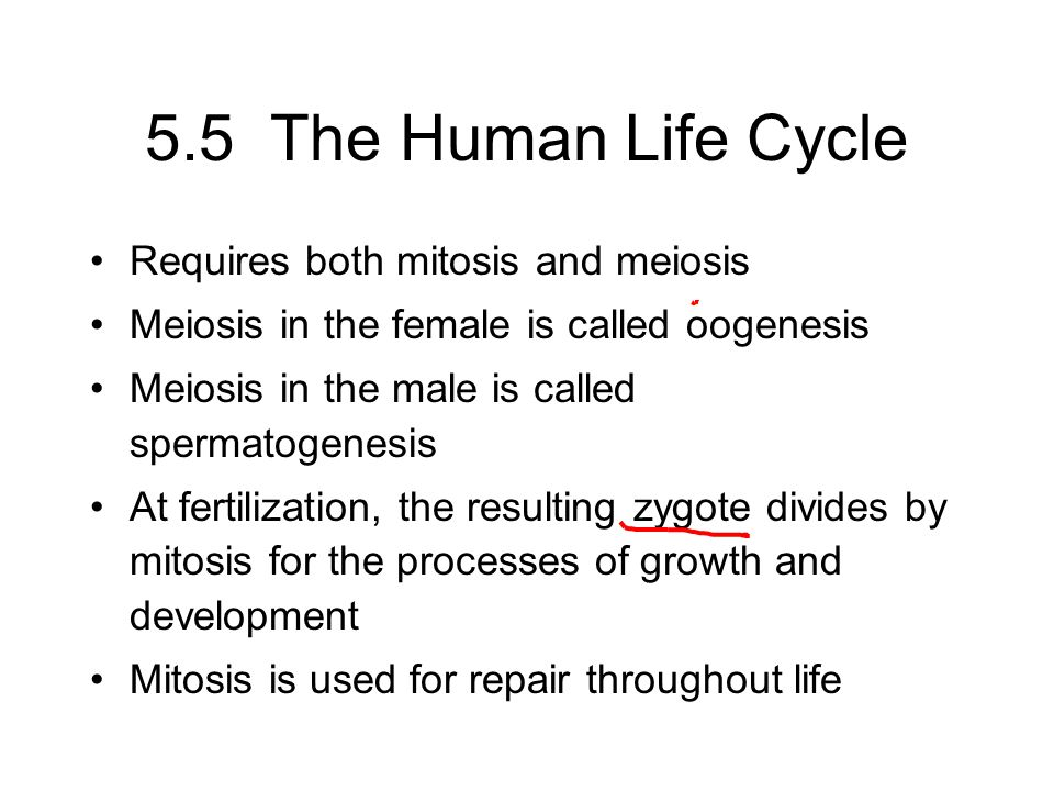 5.5 The Human Life Cycle Requires both mitosis and meiosis