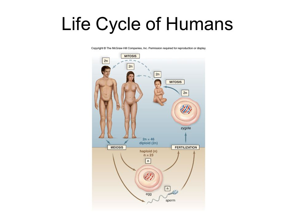 Life Cycle of Humans