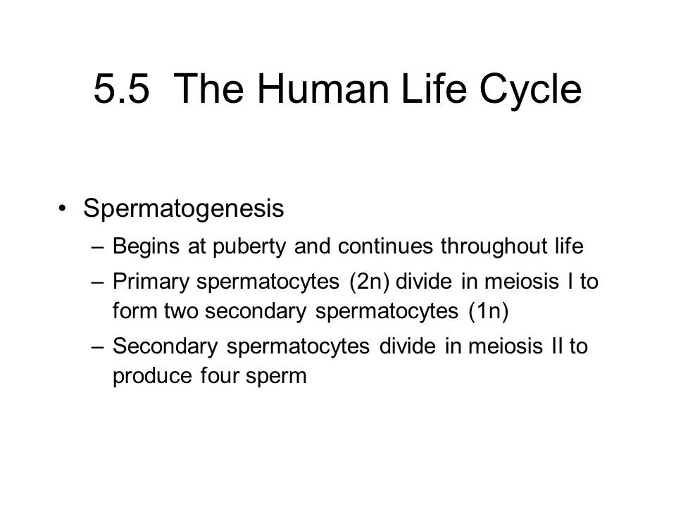 5.5 The Human Life Cycle Spermatogenesis