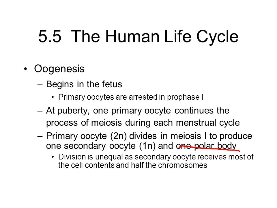 5.5 The Human Life Cycle Oogenesis Begins in the fetus