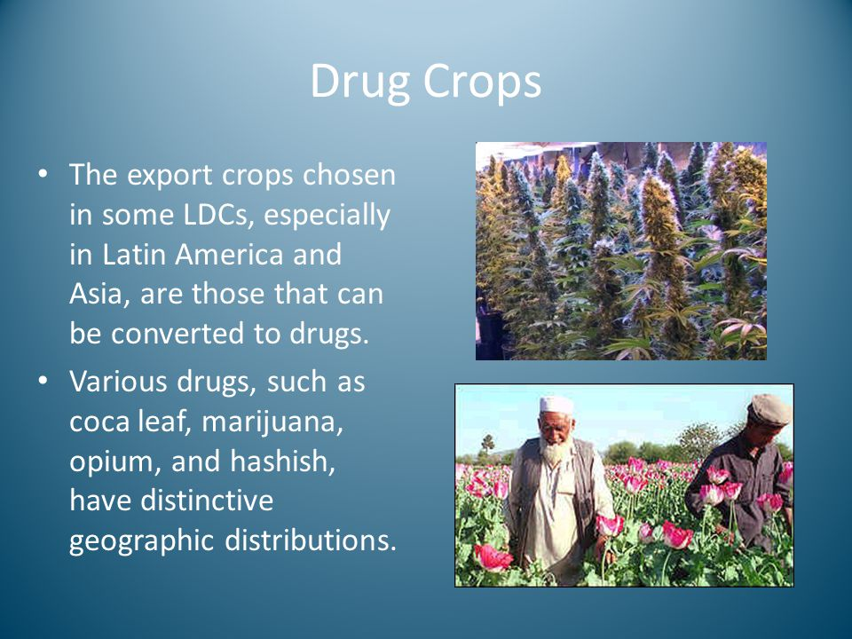 Drug Crops The export crops chosen in some LDCs, especially in Latin America and Asia, are those that can be converted to drugs.