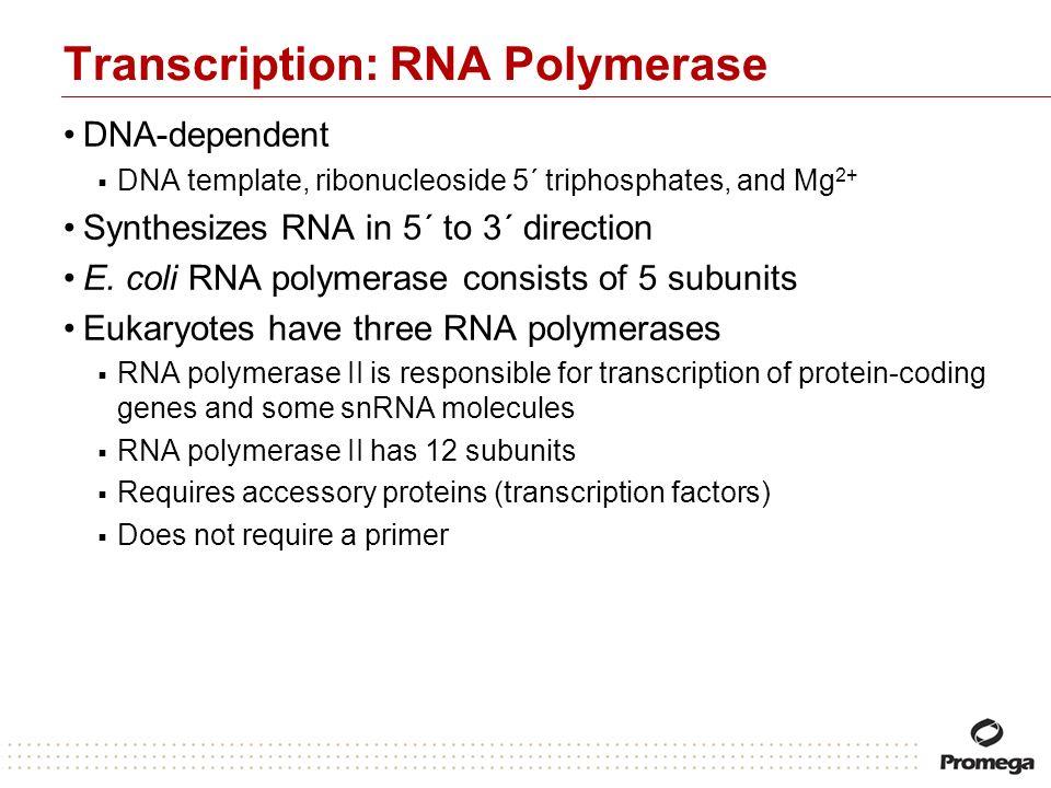 Transcription: RNA Polymerase