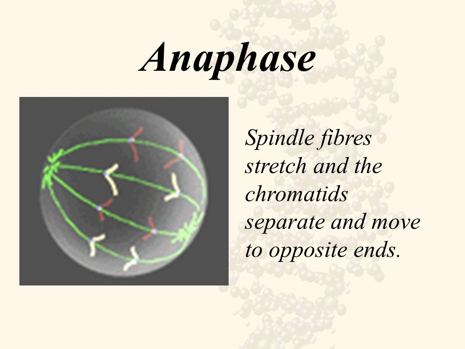 Anaphase Spindle fibres stretch and the chromatids