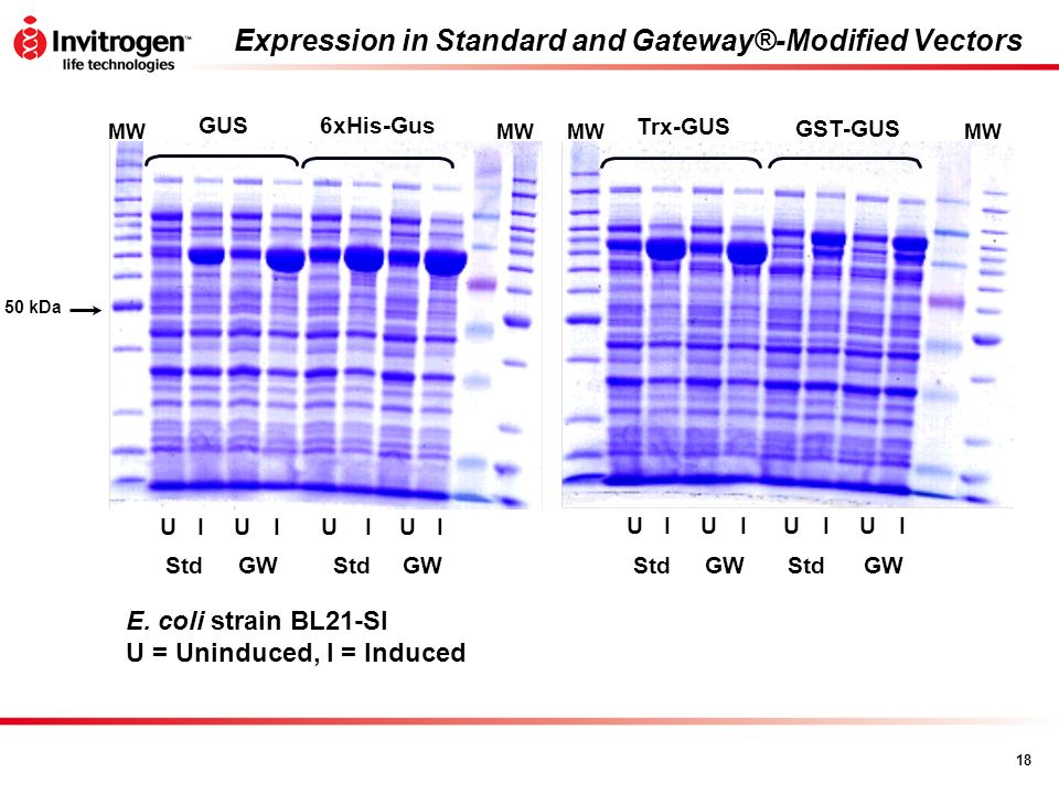 Expression in Standard and Gateway®-Modified Vectors