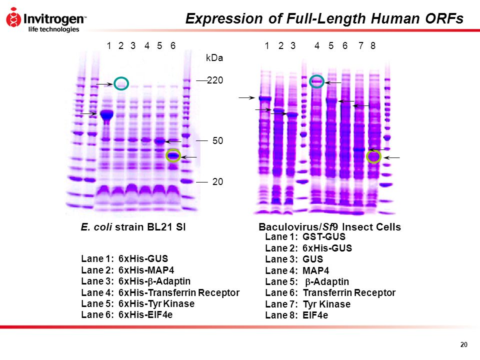 Expression of Full-Length Human ORFs
