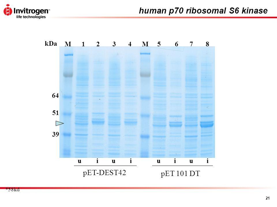 human p70 ribosomal S6 kinase