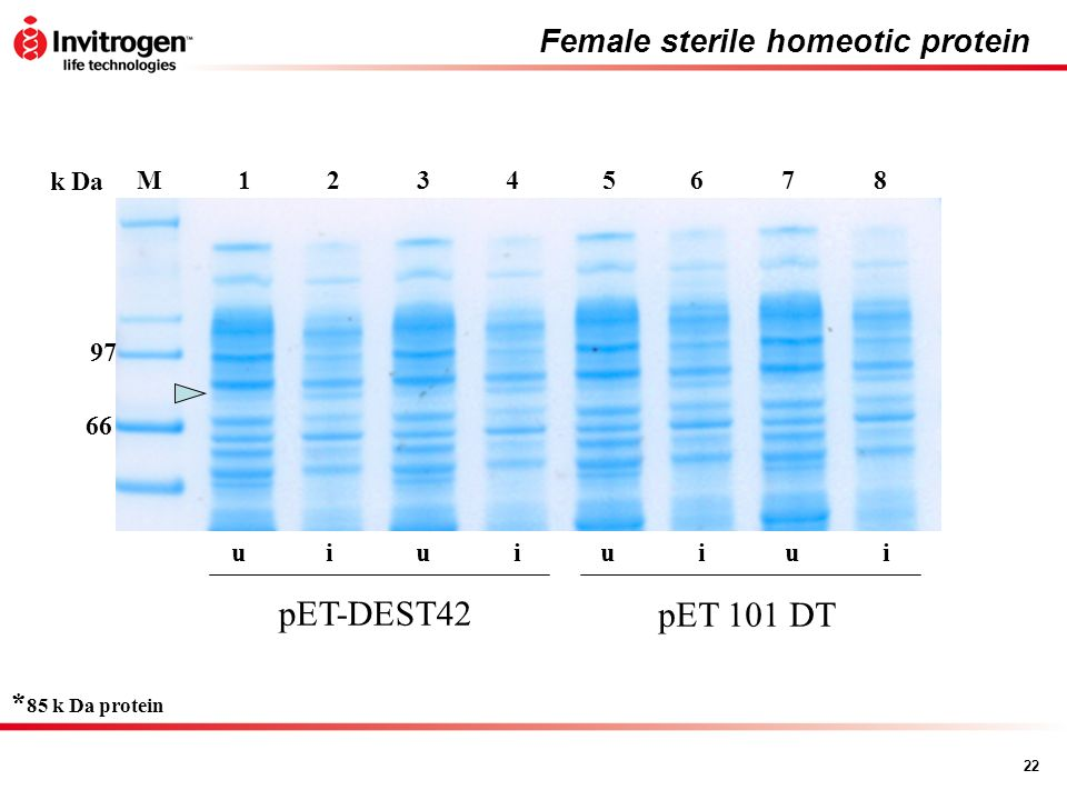 Female sterile homeotic protein