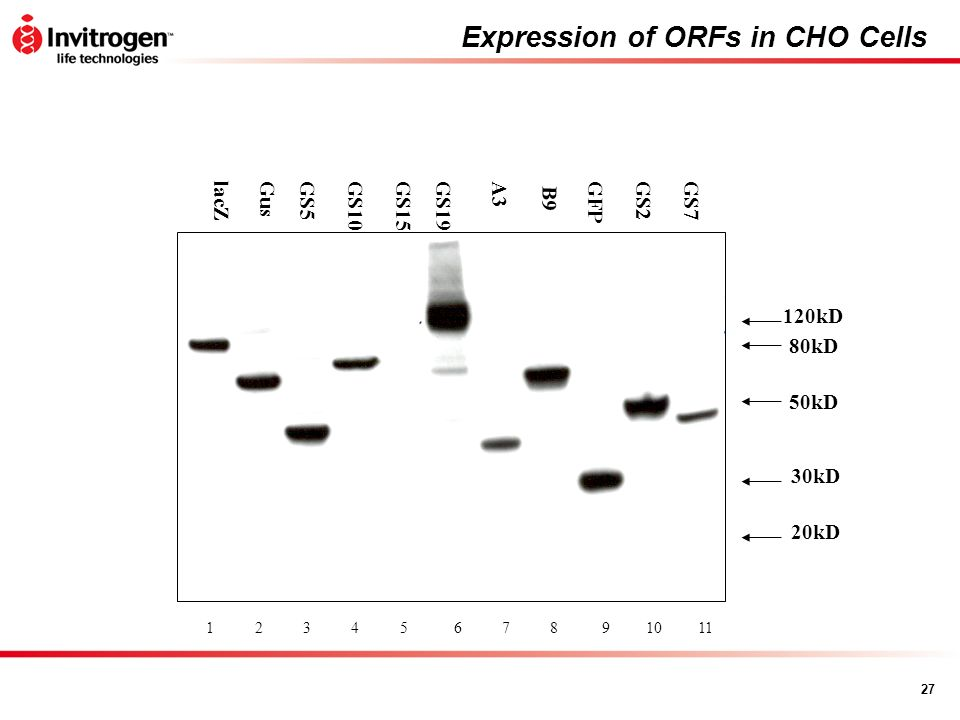 Expression of ORFs in CHO Cells