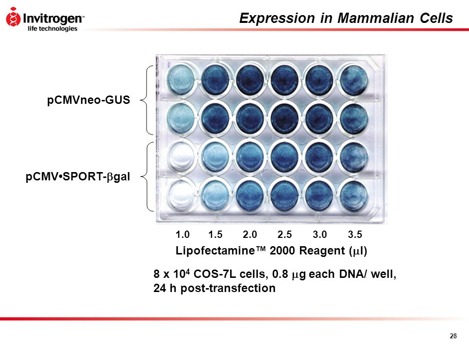 Expression in Mammalian Cells