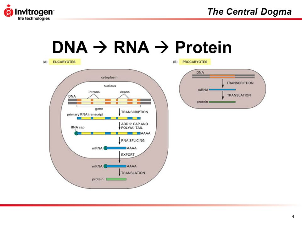 The Central Dogma DNA  RNA  Protein