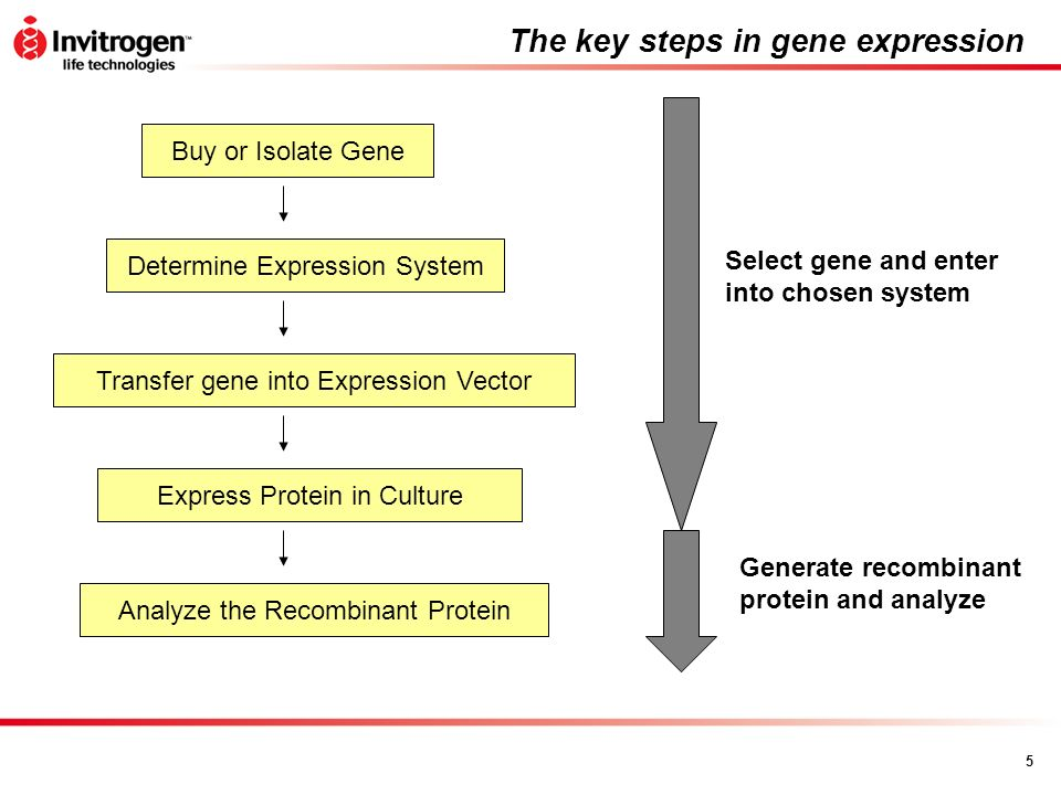 The key steps in gene expression